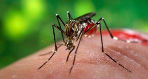 Mosquito  que transmite virus del Zika