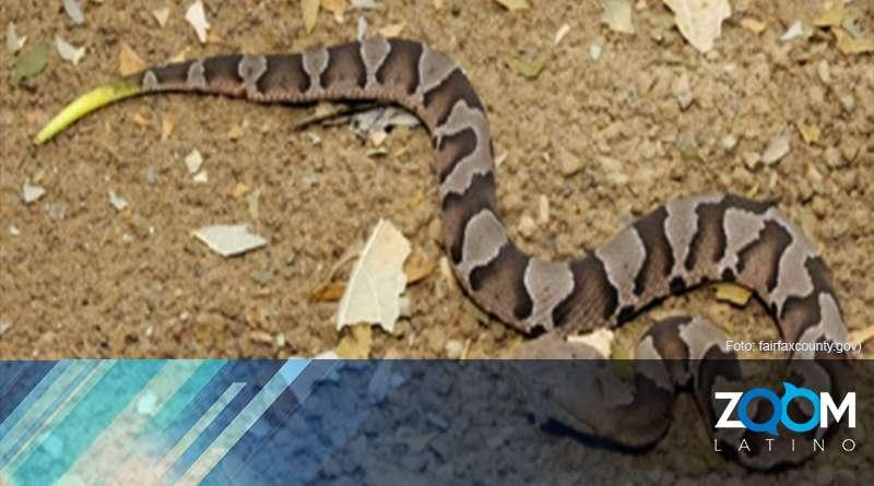 Autoridades del Condado Fairfax alertan sobre presencia de serpientes venenosas en esta temporada