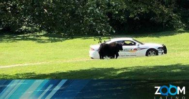Un Yak escapo cuando lo llevaban al matadero en el Condado de Nelson.
