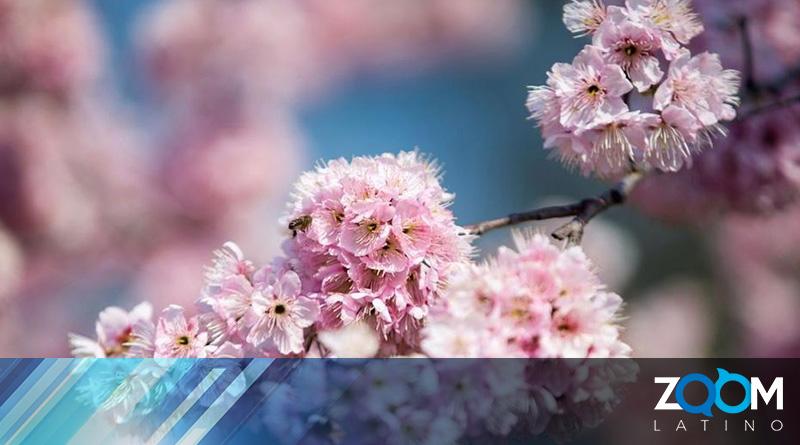 """Se espera una gran floración de la """"Flor de Cerezo"""" para finales de marzo"""