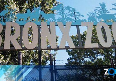 Zoológico del Bronx informa que un tigre dio positivo para coronavirus