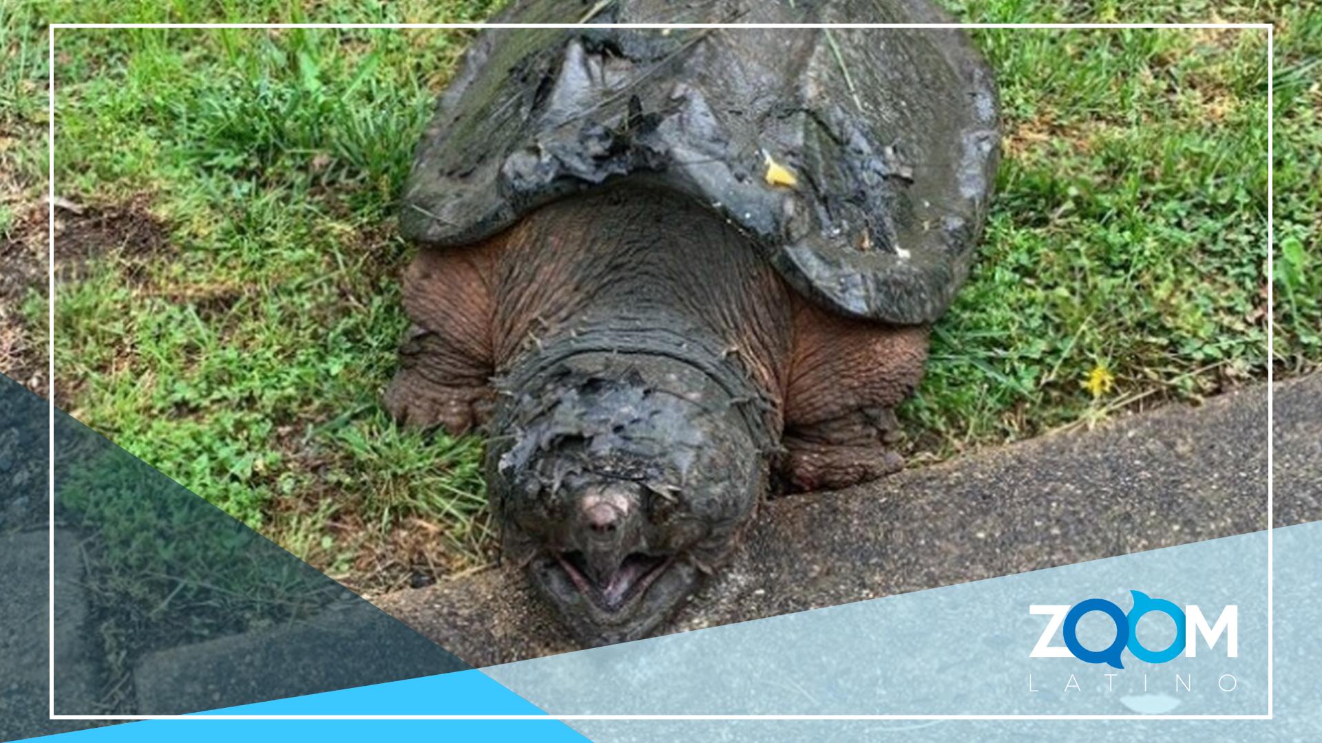 Tortuga de 65 libras es encontrada en Virginia