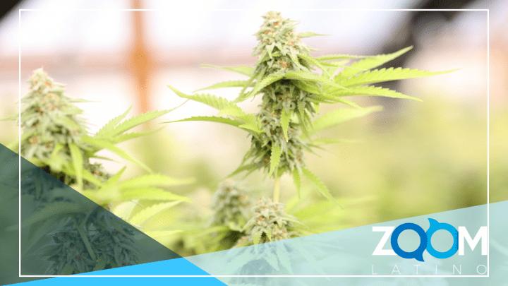 Virginia está legalizando la marihuana